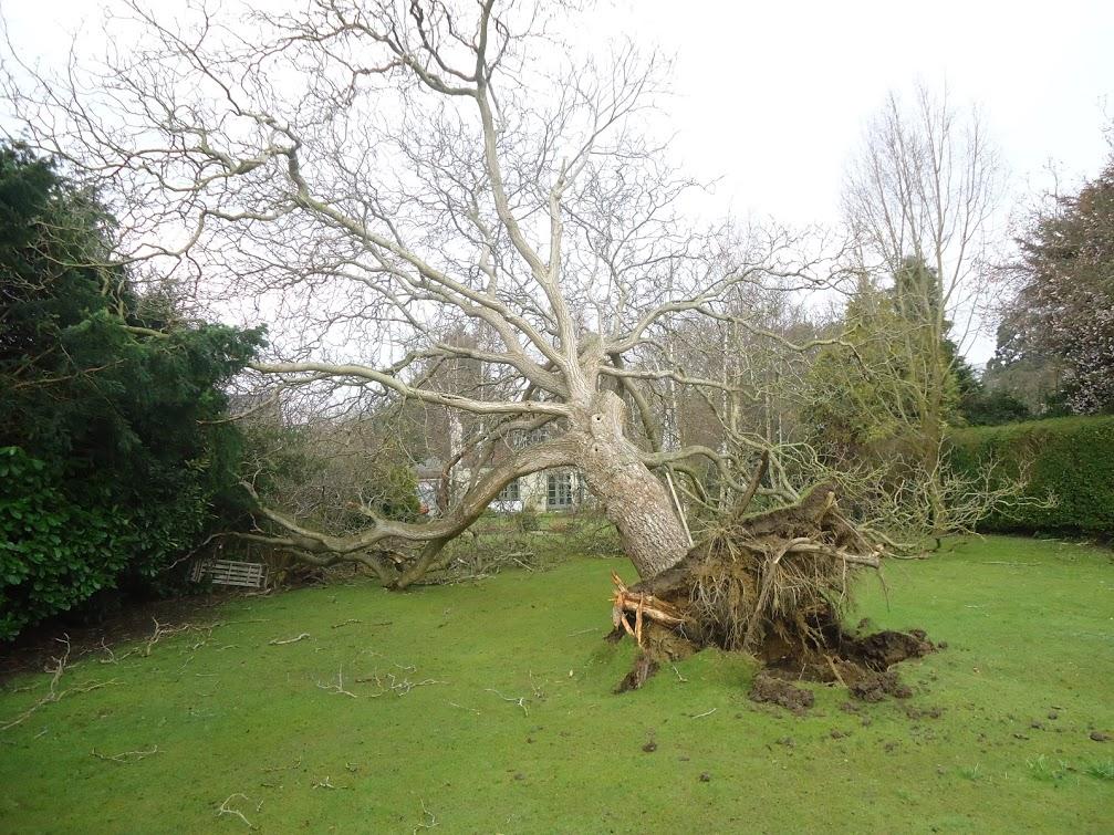 walnut decay roots vta