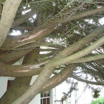 Leylandii - Reason - Longitudinal splitting in lateral branches