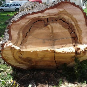 Cedar with extensive decay