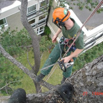 branch removal from a tall tree next to the building